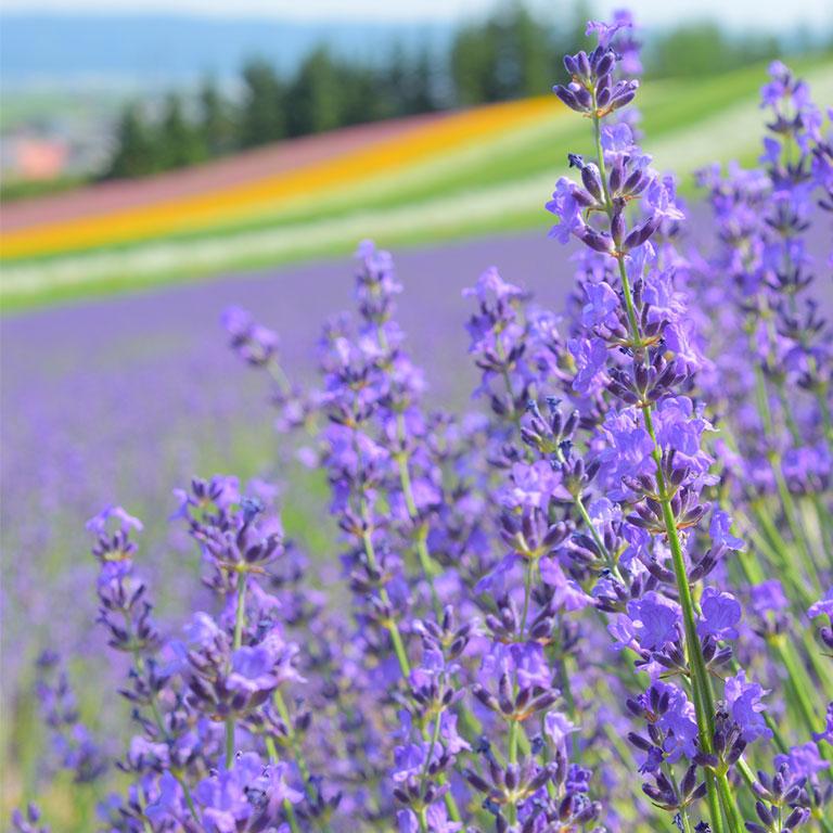 富良野・美瑛虹色の丘とパッチワークの路